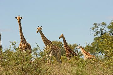 southafrica ... Giraffenstaffel von Meleah Fotografie