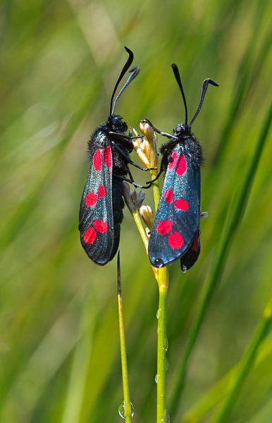 Twee Sint-jacobsvlinders