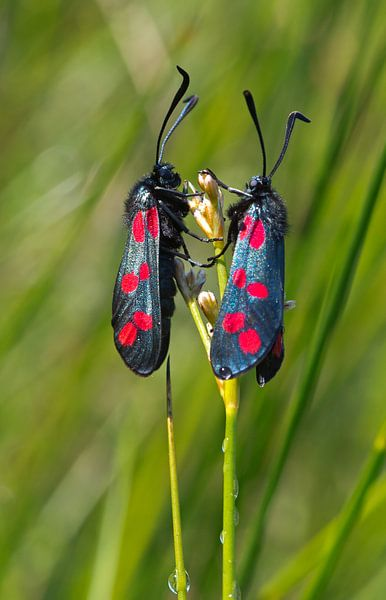 Twee Sint-jacobsvlinders van Menno Schaefer