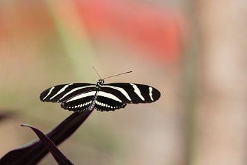 Noir Blanc Papillon sur Thijs van den Broek