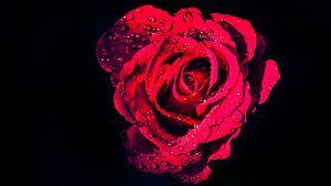Natte rode Roos op zwarte achtergrond