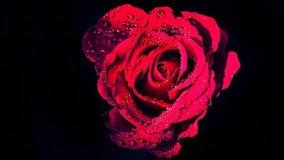 Natte rode Roos op zwarte achtergrond van Martijn van Dellen