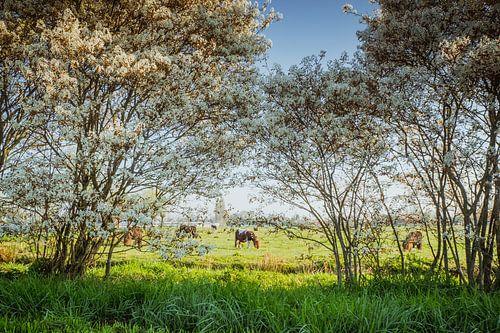 Bloeiende krentenbossen
