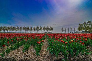 Rode tulpen met typisch Hollandse achtergrond van Patrick Verhoef