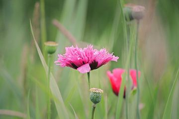 Roze Papaver van Marjan Kooistra