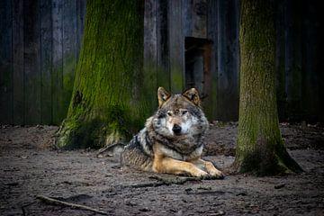 Liggende wolf in dierentuin von Abi Waren