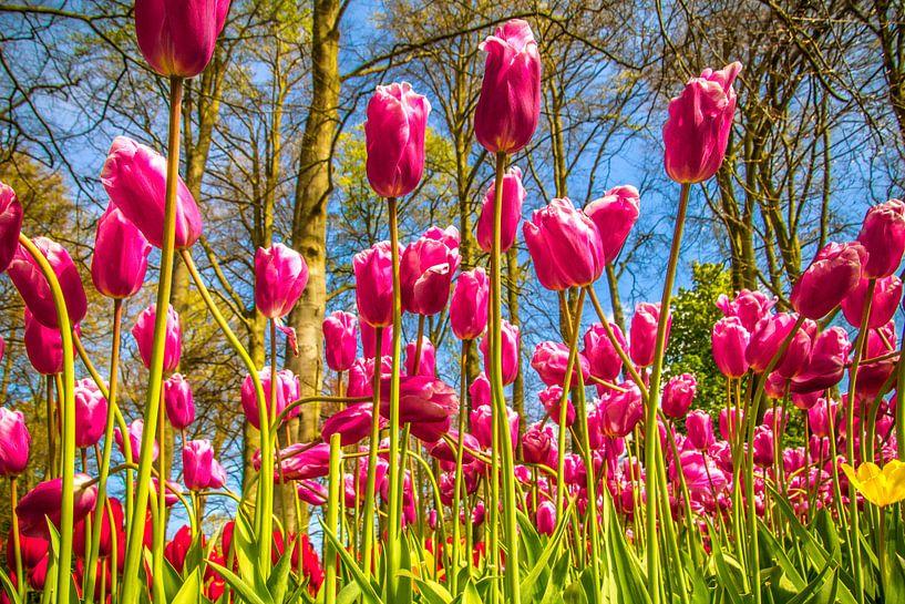 Fleurige paarse tulpen van Koop je Canvas