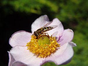 Insect op een bloem sur Laurent Scheffer