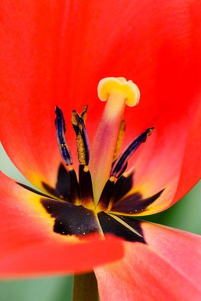 Rode tulp dichtbij