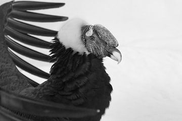 Andenkondor mit ausgebreiteten Flügeln über dem Kopf, Porträt Schwarz-Weiß-Foto von Michael Semenov