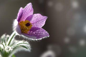 Fleur de pasque sur Christiane Calmbacher