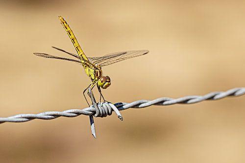 Libelle op prikkeldraad