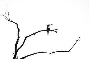 Eisvogel in Schwarz und Weiß in Indien von Part of the vision