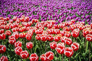 Tulpen Velden van Erika Gallegos