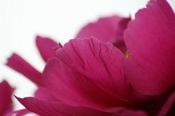 pioen(b)roos von Vittoria Roitero-Maas