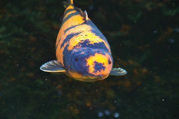 Grote, kleurrijke Koi onder water van Anja Uhlemeyer-Wrona