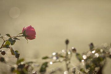 Der Duft von Rosen im Dezember von Hetwie van der Putten