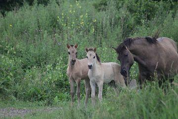 Konikpaarden van Richard Boon