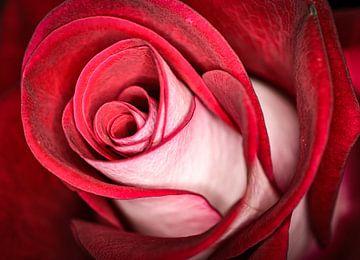 Rose von Christian Konschewski