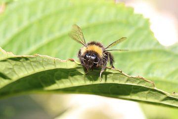 Biene auf schönen grünen Blättern von Paul Franke