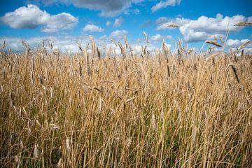 Nederlands landschap met blauwe lucht boven een graanveld van Suzanne Schoepe