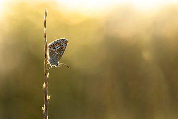 icarusblauwtje vlinder van Christophe Van walleghem