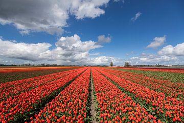 Schilderachtige foto van een bloeiend tulpenveld van Maurice de vries