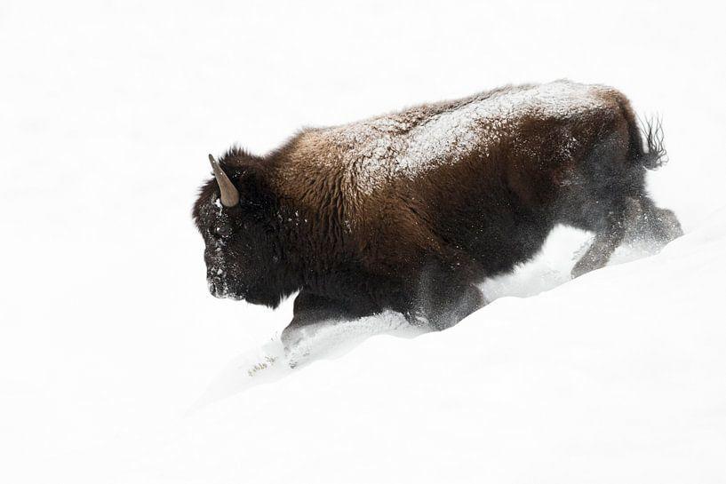 American Bison, running bull in deep powder snow van wunderbare Erde