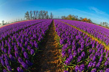 zonnig hyacinten veld van Peter Heins