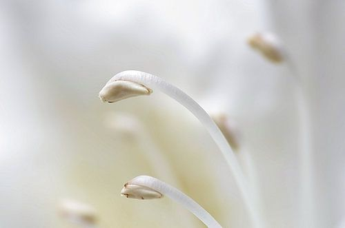 Not alone II, Rhododendron Macrofotografie