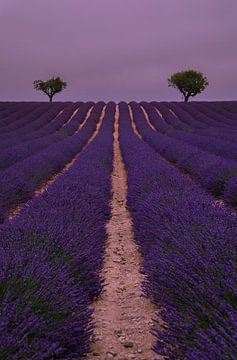 De paarse Provence van Joris Pannemans - Loris Photography
