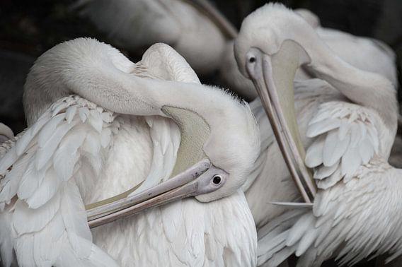 pelikanen van Fraukje Vonk
