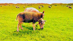 Zwei Texeler Schafe