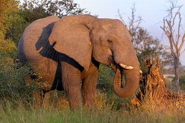 Eléphant d'Afrique sur Dennis Eckert