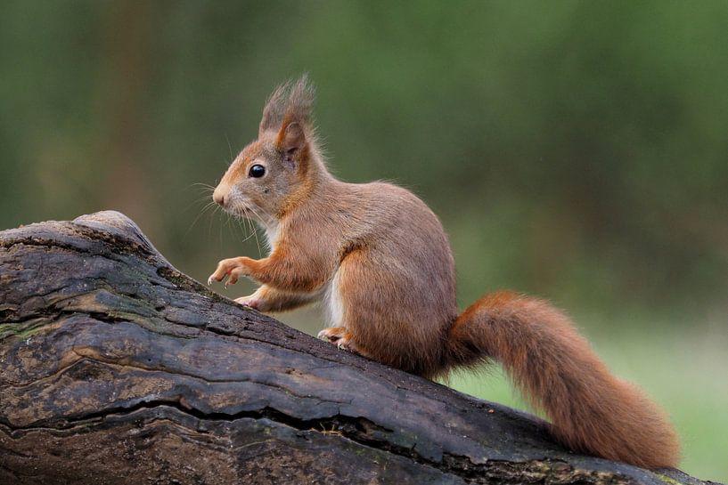 Eekhoorn op een boomstam van Astrid Brouwers