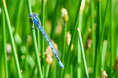 Libelle - Azuurwaterjuffer (Coenagrion puella) van Ton Wever