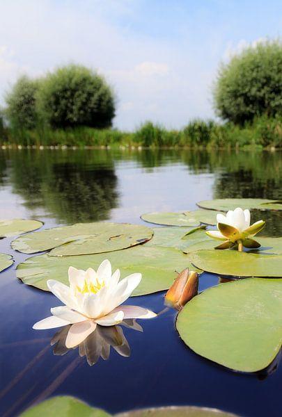 Witte waterlelies in rivier de Angstel van Dennis van de Water