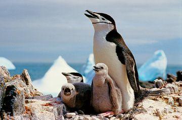 Antarctische pinguïn - Analoge fotografie! van Tom River Art