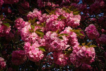Fülle der japanischen Kirschblüte von Joran Quinten