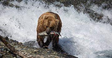 Bär fängt Lachs in Alaska von Jos Hug