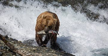 Bear catching salmon in Alaska van Jos Hug