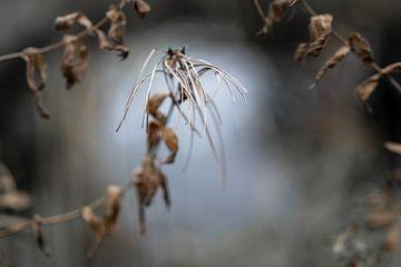 Samenkapseln des Weidenröschens (Epilobium) vor einem verschwommenen Naturhintergrund, Wabi-Sabi-Kon