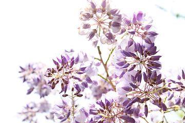 Paarse Wisteria-bloemen