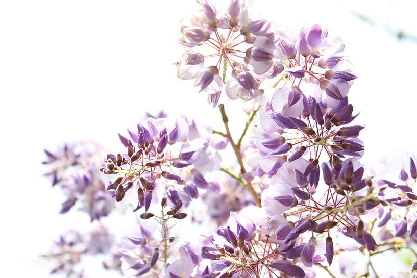 Paarse Wisteria-bloemen van Fleur Halkema