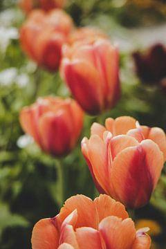 rote Tulpen von Franziska Pfeiffer