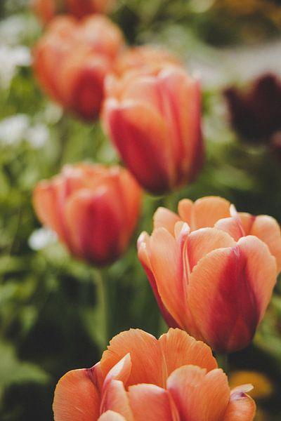 rode tulpen van Franziska Pfeiffer