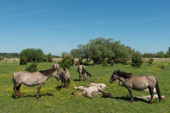 Konik paarden in nationaal park Lauwersmeer