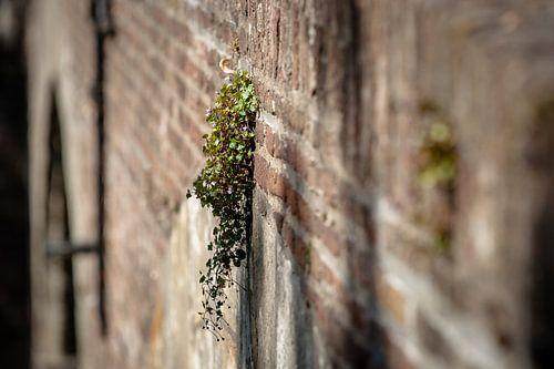 Bloeiende muurbloemen op oude stadsmuur