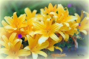Taglilie von