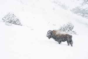 Bison ( Bison bison ) trotzt bei Schneefall dem  harten Winter, Yellowstone NP, Wyoming, USA.